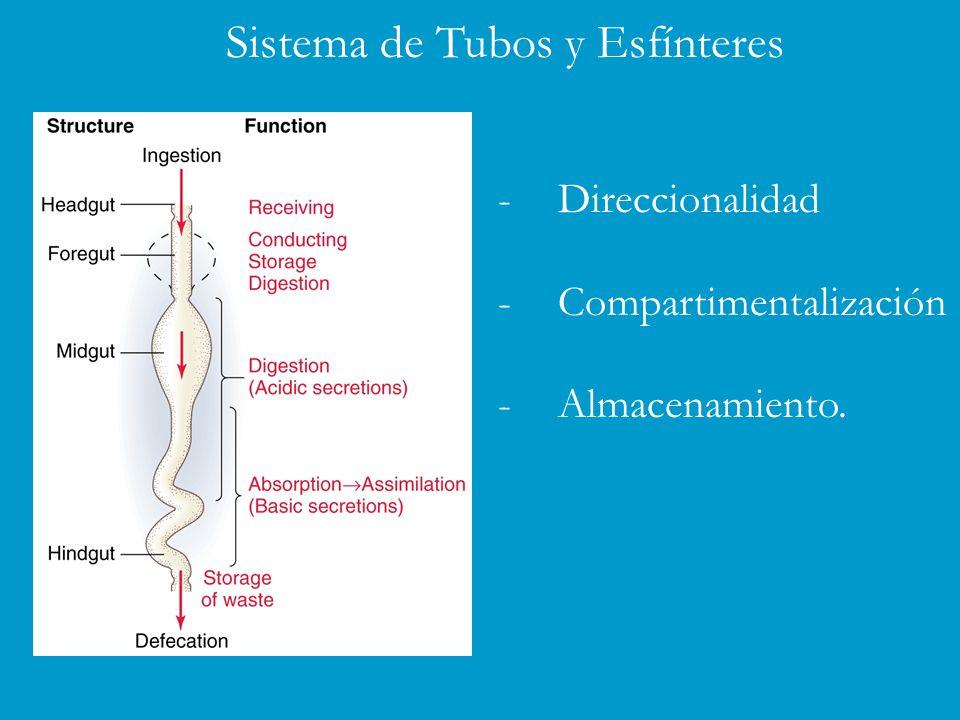 -Direccionalidad -Compartimentalización -Almacenamiento. Sistema de Tubos y Esfínteres