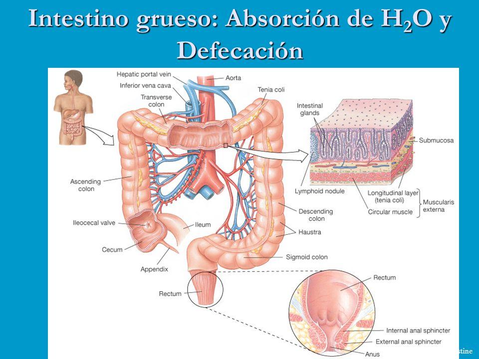 Intestino grueso: Absorción de H 2 O y Defecación Figure 21-27: Anatomy of the large intestine