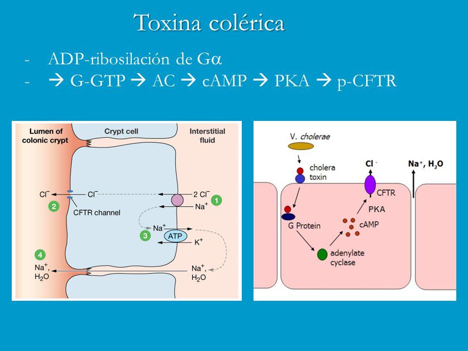 Toxina colérica -ADP-ribosilación de G  -  G-GTP  AC  cAMP  PKA  p-CFTR PKA