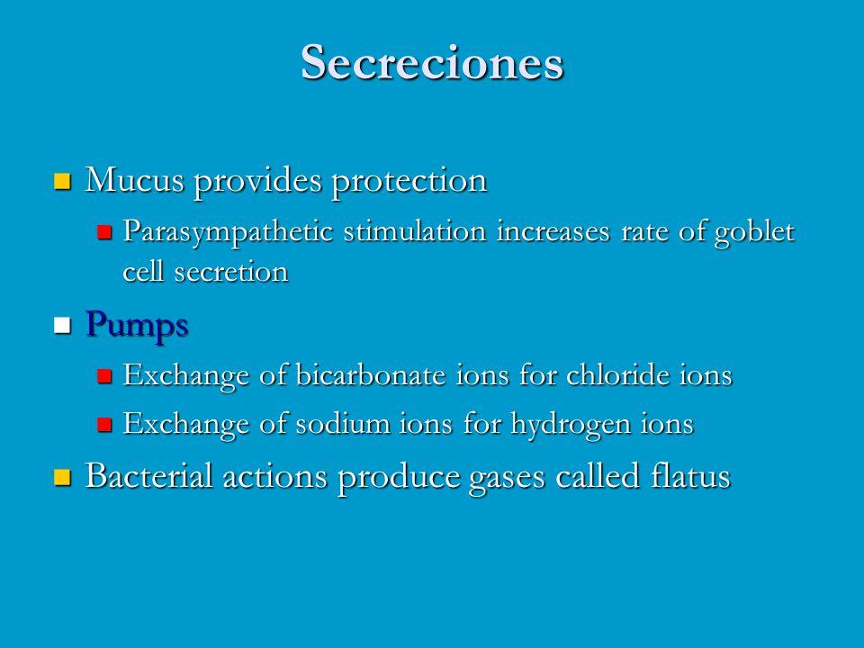 Secreciones Mucus provides protection Mucus provides protection Parasympathetic stimulation increases rate of goblet cell secretion Parasympathetic st