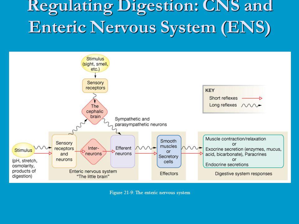 Regulating Digestion: CNS and Enteric Nervous System (ENS) Figure 21-9: The enteric nervous system