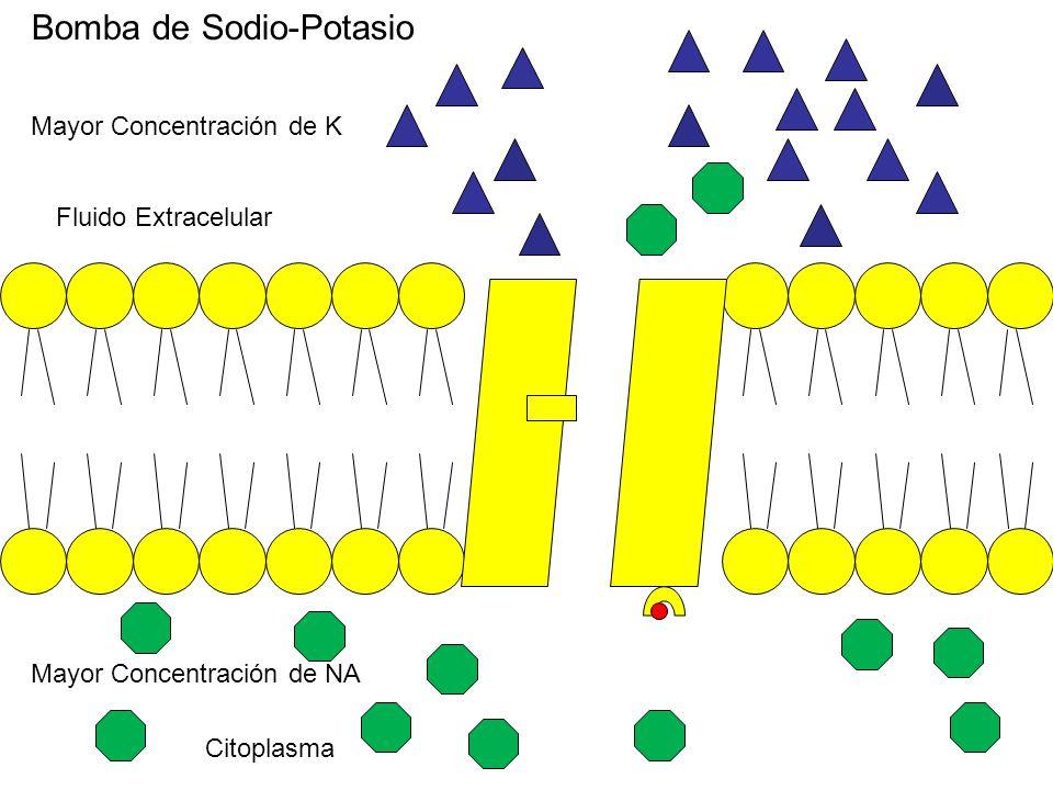Bomba de Sodio-Potasio Citoplasma Fluido Extracelular Mayor Concentración de K Mayor Concentración de NA
