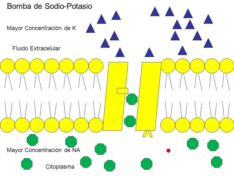Citoplasma Fluido Extracelular Mayor Concentración de K Mayor Concentración de NA Bomba de Sodio-Potasio
