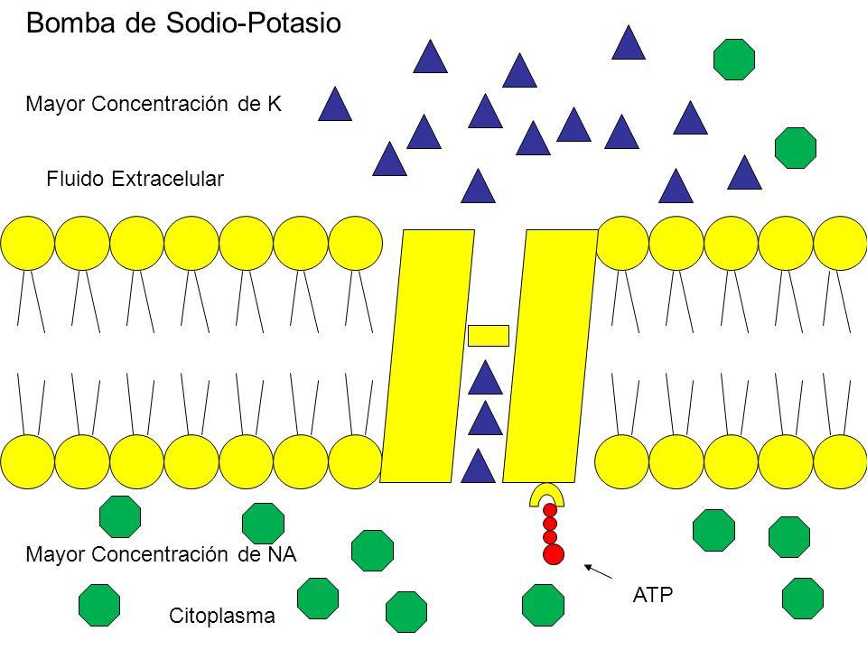 Bomba de Sodio-Potasio Citoplasma Fluido Extracelular Mayor Concentración de K Mayor Concentración de NA ATP