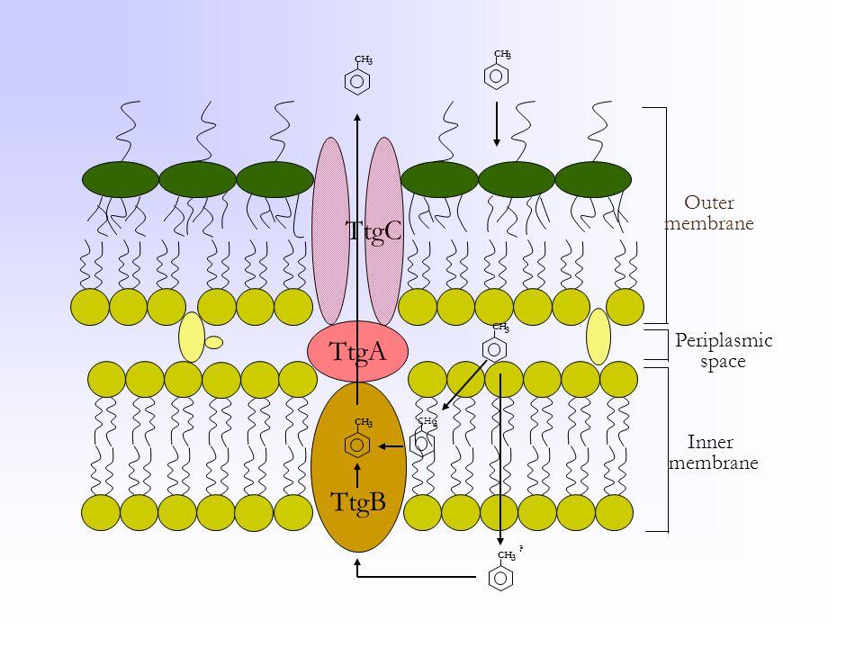 TtgB TtgC TtgA Outer membrane Periplasmic space Inner membrane CH 3 3 3 3 3 3