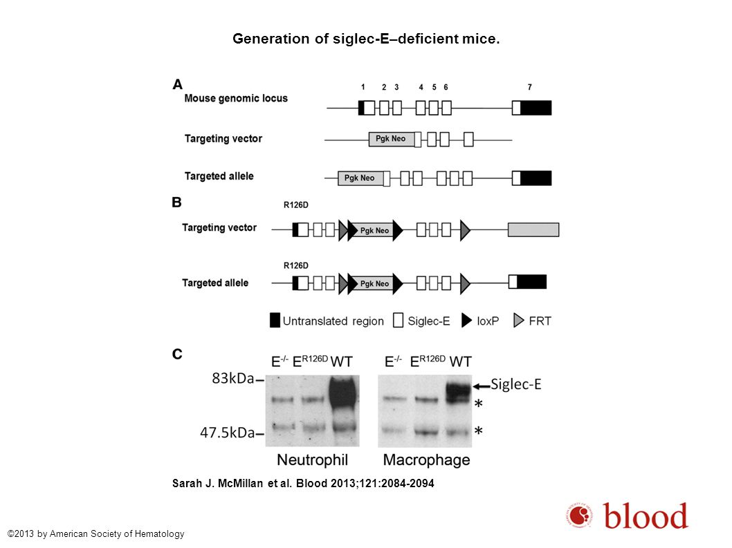 Generation of siglec-E–deficient mice. Sarah J. McMillan et al. Blood 2013;121:2084-2094 ©2013 by American Society of Hematology