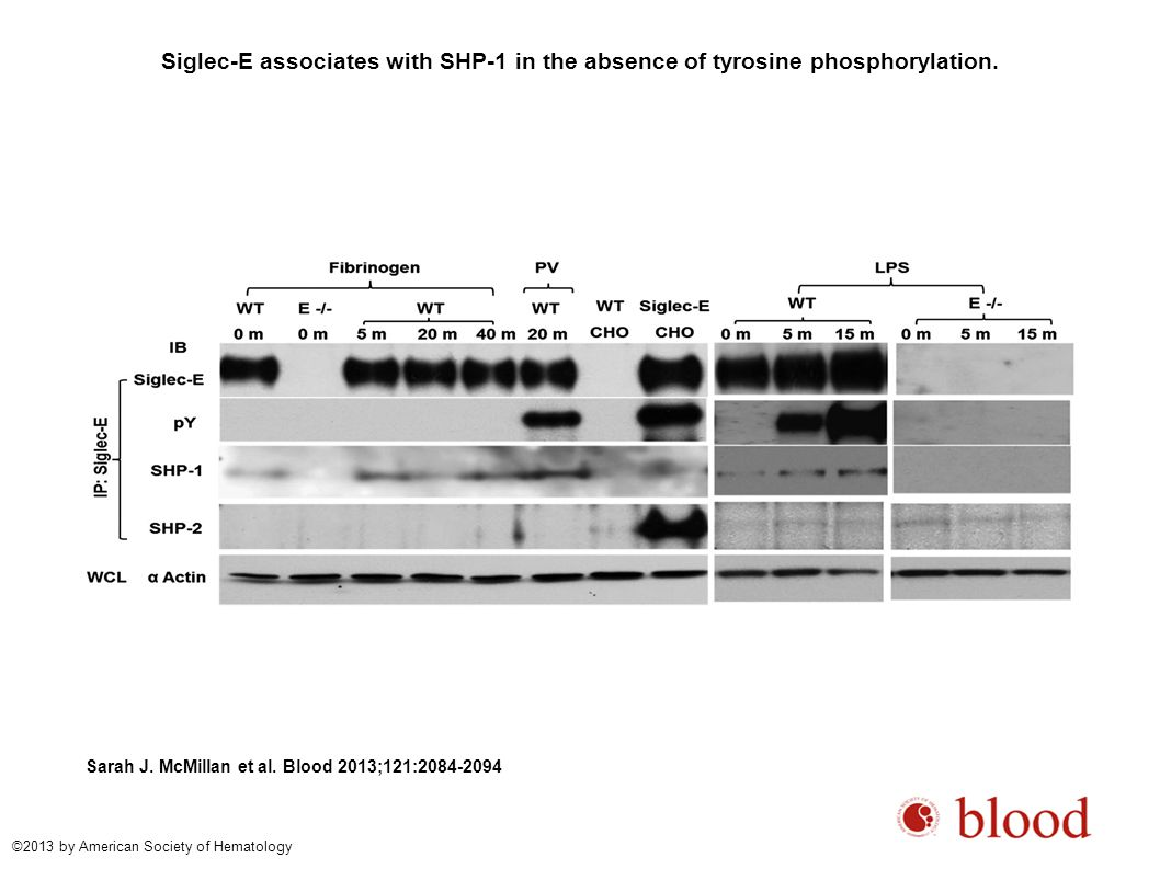Siglec-E associates with SHP-1 in the absence of tyrosine phosphorylation.