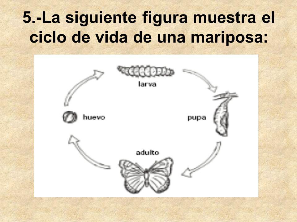 5.-La siguiente figura muestra el ciclo de vida de una mariposa: