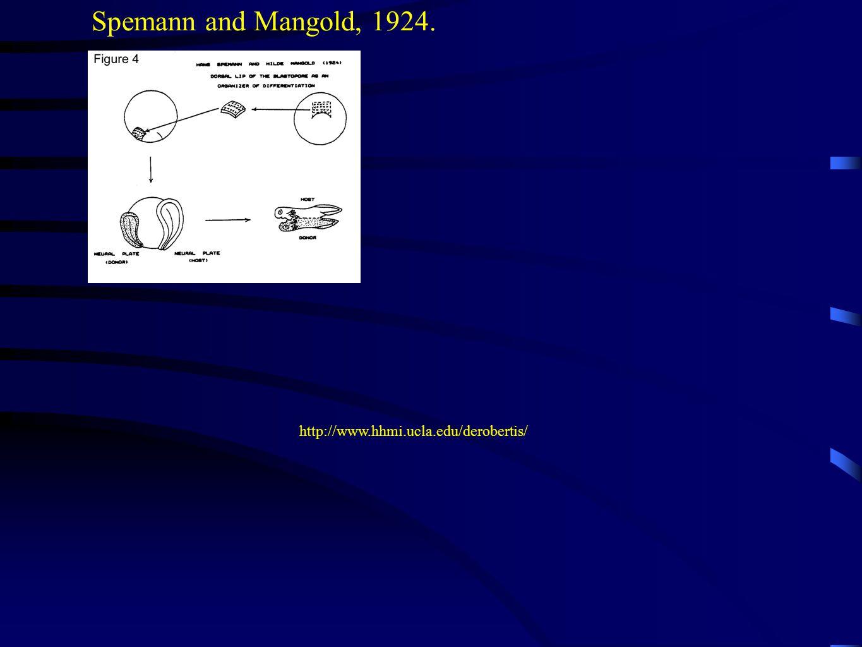 http://www.hhmi.ucla.edu/derobertis/ Spemann and Mangold, 1924.