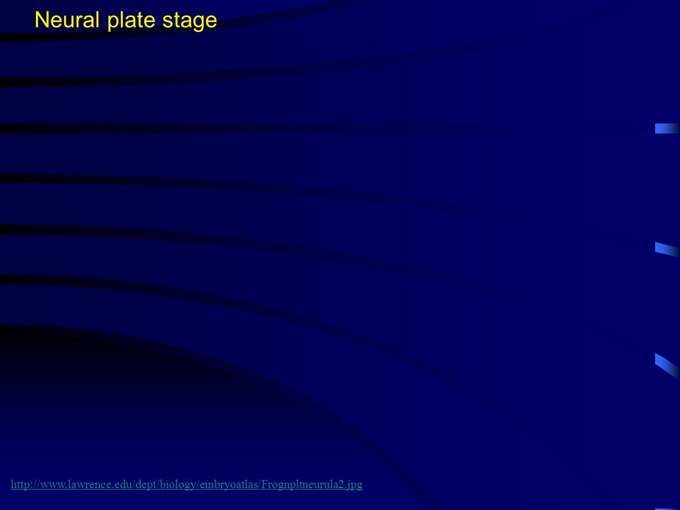Neural plate stage http://www.lawrence.edu/dept/biology/embryoatlas/Frognpltneurula2.jpg
