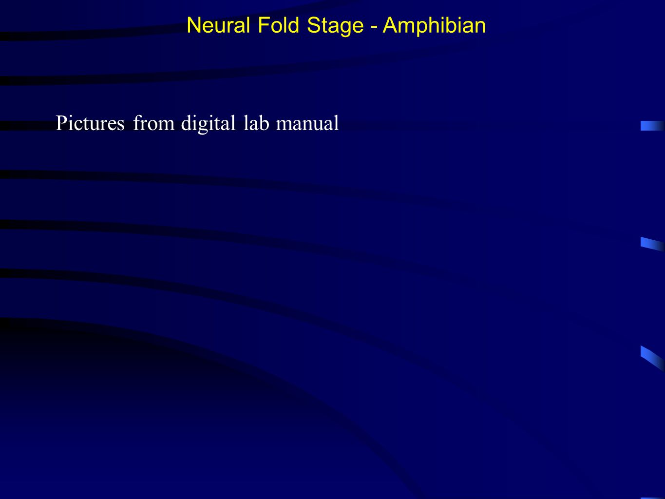 Neural Fold Stage - Amphibian Pictures from digital lab manual