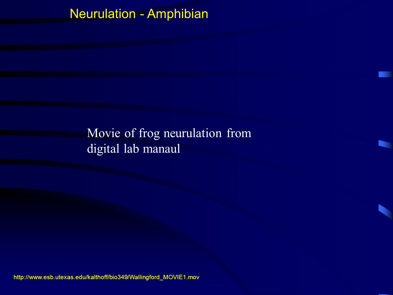 http://www.esb.utexas.edu/kalthoff/bio349/Wallingford_MOVIE1.mov Neurulation - Amphibian Movie of frog neurulation from digital lab manaul