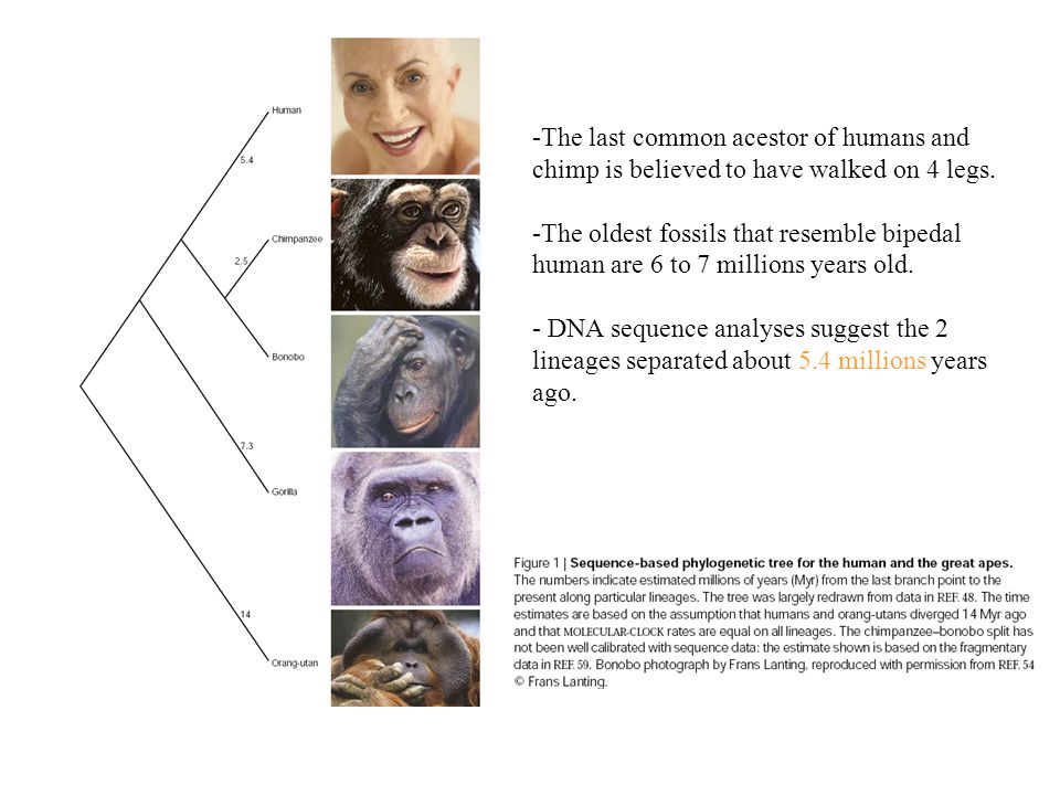 -The last common acestor of humans and chimp is believed to have walked on 4 legs.