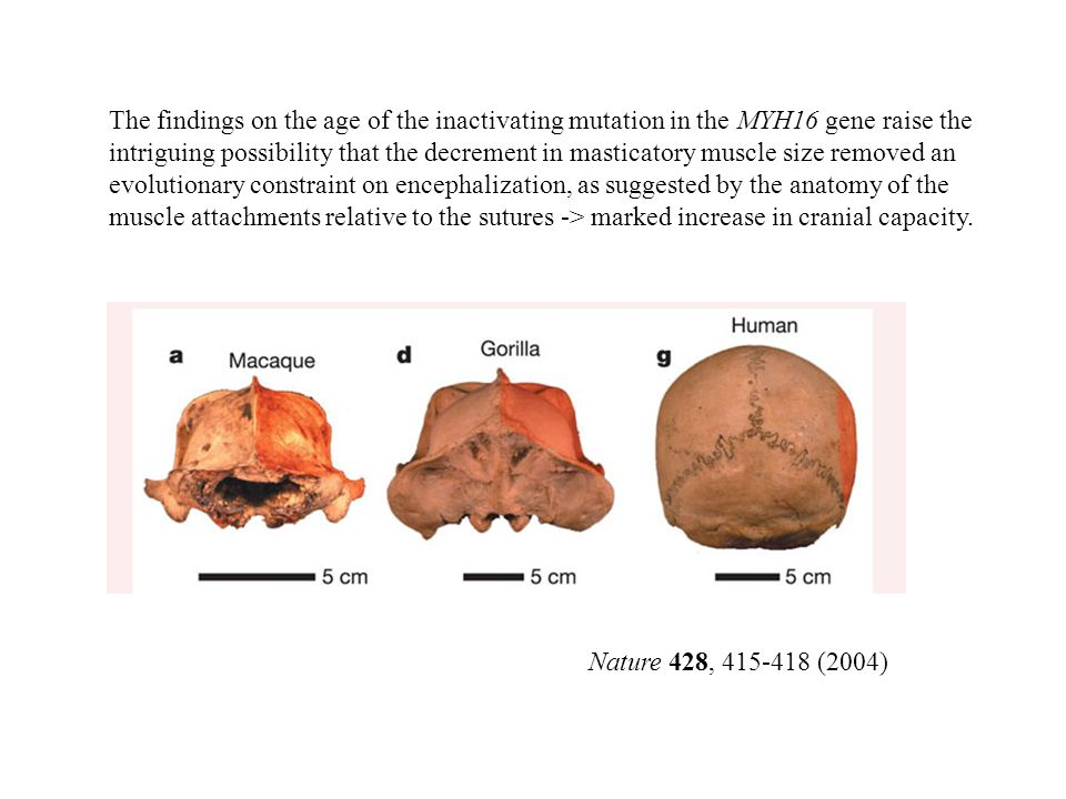 The findings on the age of the inactivating mutation in the MYH16 gene raise the intriguing possibility that the decrement in masticatory muscle size removed an evolutionary constraint on encephalization, as suggested by the anatomy of the muscle attachments relative to the sutures -> marked increase in cranial capacity.