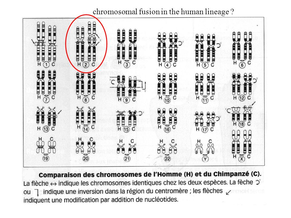 chromosomal fusion in the human lineage
