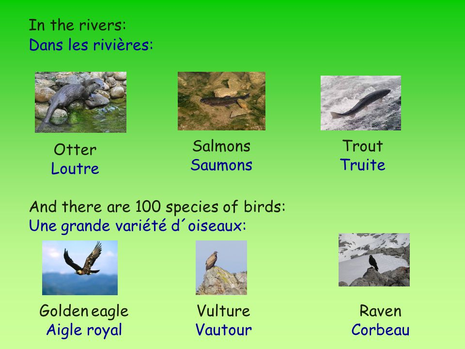 Otter Loutre Trout Truite Salmons Saumons Golden eagle Aigle royal Vulture Vautour Raven Corbeau In the rivers: Dans les rivières: And there are 100 species of birds: Une grande variété d´oiseaux: