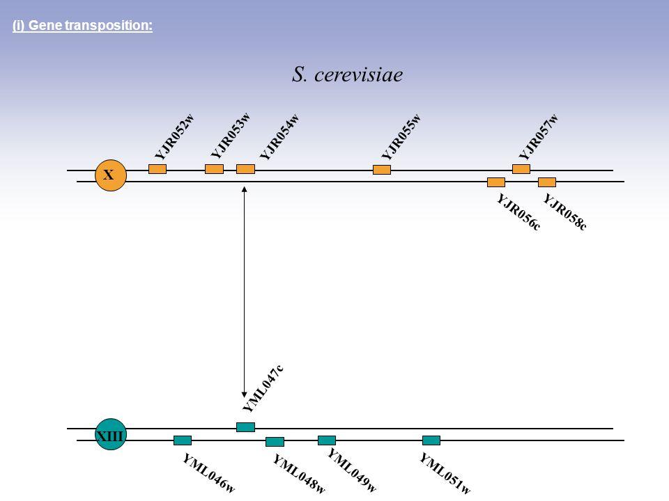 YML051w YML046w YML048w YML049w (i) Gene transposition: YJR052w YJR053w YJR054wYJR055wYJR057w YJR056cYJR058c YML047c X XIII S. cerevisiae