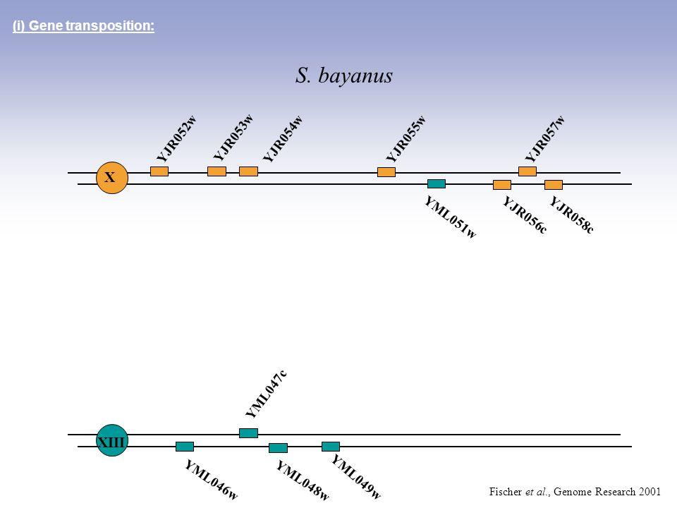 YML046w YML048w YML049w (i) Gene transposition: YJR052w YJR053w YJR054wYJR055wYJR057w YJR056cYJR058c YML047c X XIII S. bayanus YML051w Fischer et al.,