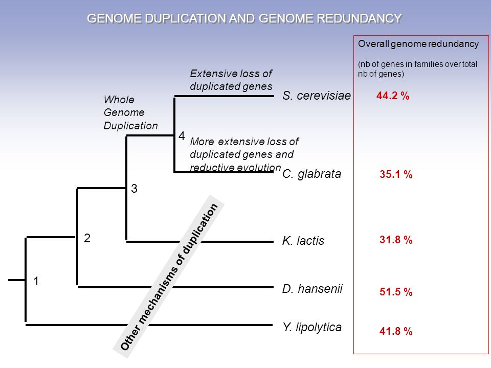 1 2 3 4 S. cerevisiae C. glabrata K. lactis D. hansenii Y. lipolytica Whole Genome Duplication More extensive loss of duplicated genes and reductive e