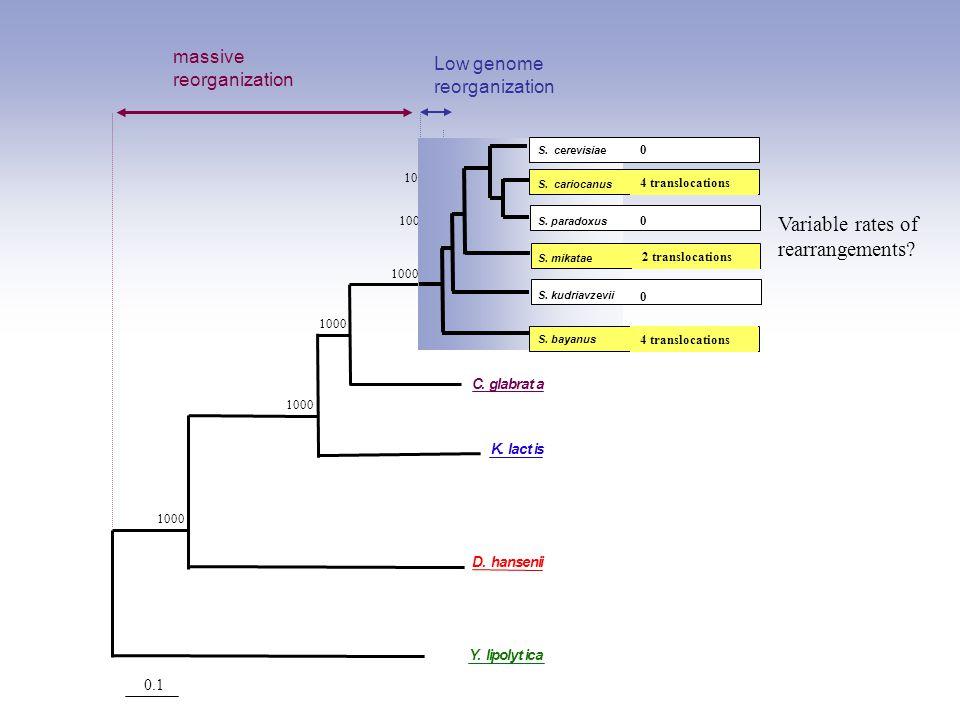 0.1 1000 S.paradoxus S.mikatae S.bayanus S.cerevisiae C.