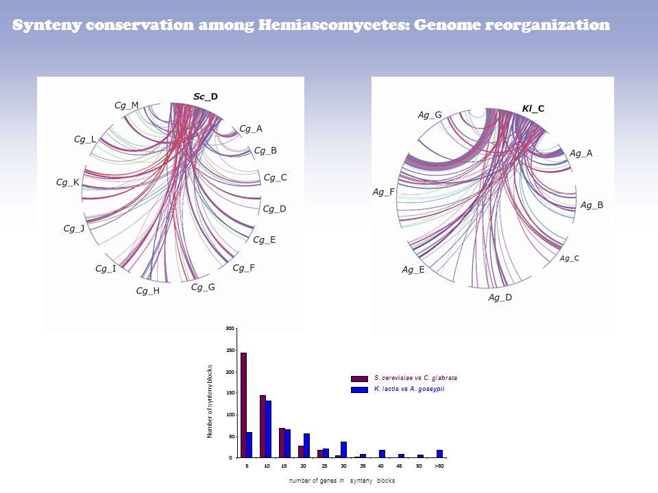 Synteny conservation among Hemiascomycetes: Genome reorganization