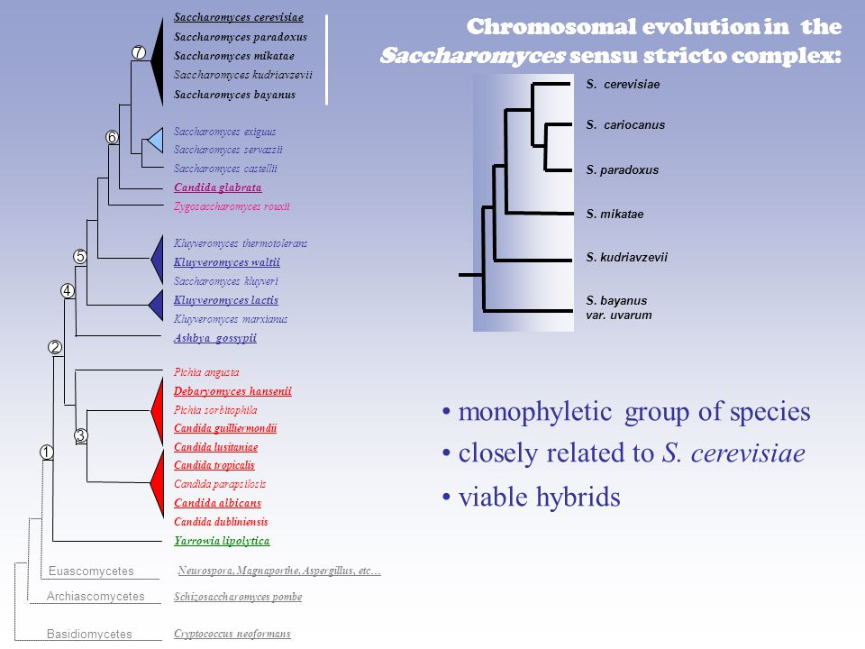 Chromosomal evolution in the Saccharomyces sensu stricto complex: S.