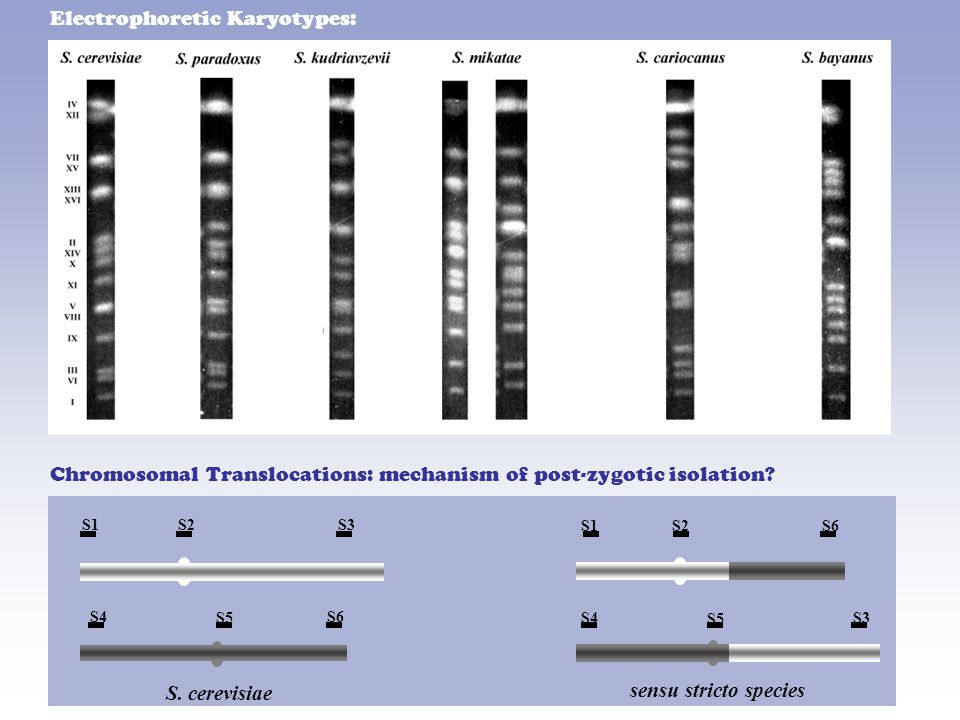 Electrophoretic Karyotypes: sensu stricto species S.