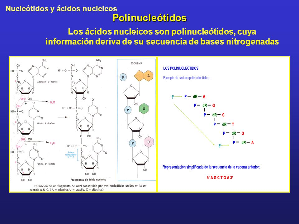 Nucleótidos y ácidos nucleicos Polinucleótidos Los ácidos nucleicos son polinucleótidos, cuya información deriva de su secuencia de bases nitrogenadas