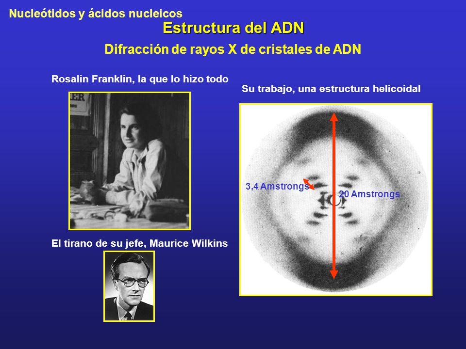 Nucleótidos y ácidos nucleicos Estructura del ADN Difracción de rayos X de cristales de ADN Rosalin Franklin, la que lo hizo todo El tirano de su jefe