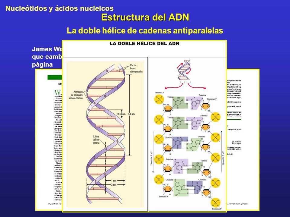 Nucleótidos y ácidos nucleicos Estructura del ADN La doble hélice de cadenas antiparalelas James Watson y Francis Crick, los que cambiaron el mundo en