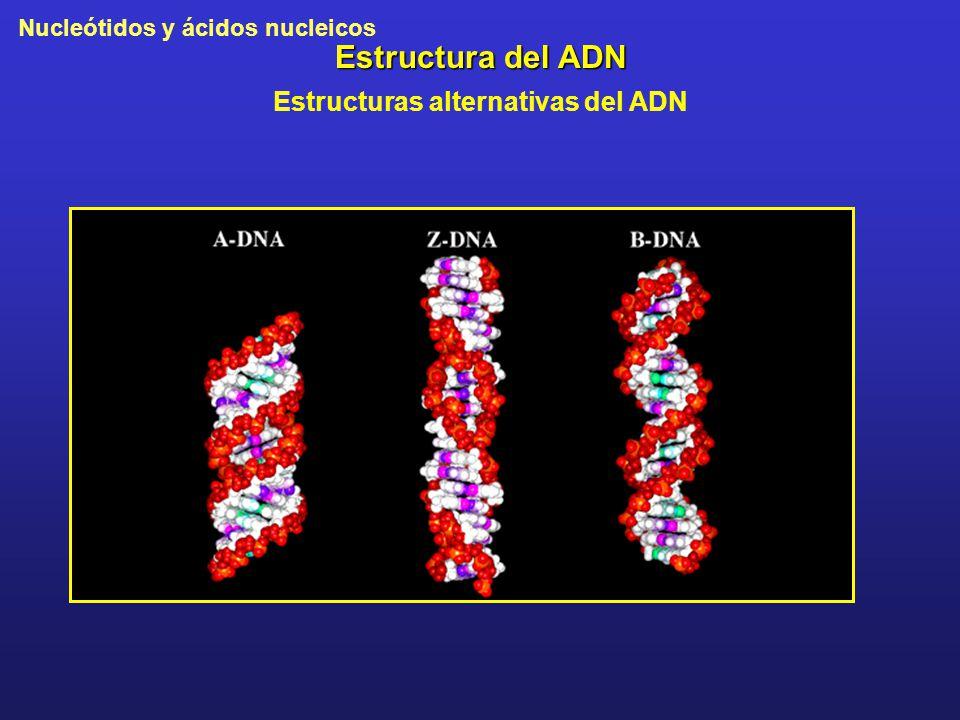 Nucleótidos y ácidos nucleicos Estructura del ADN Estructuras alternativas del ADN