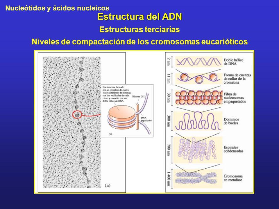 Nucleótidos y ácidos nucleicos Estructura del ADN Estructuras terciarias Niveles de compactación de los cromosomas eucarióticos