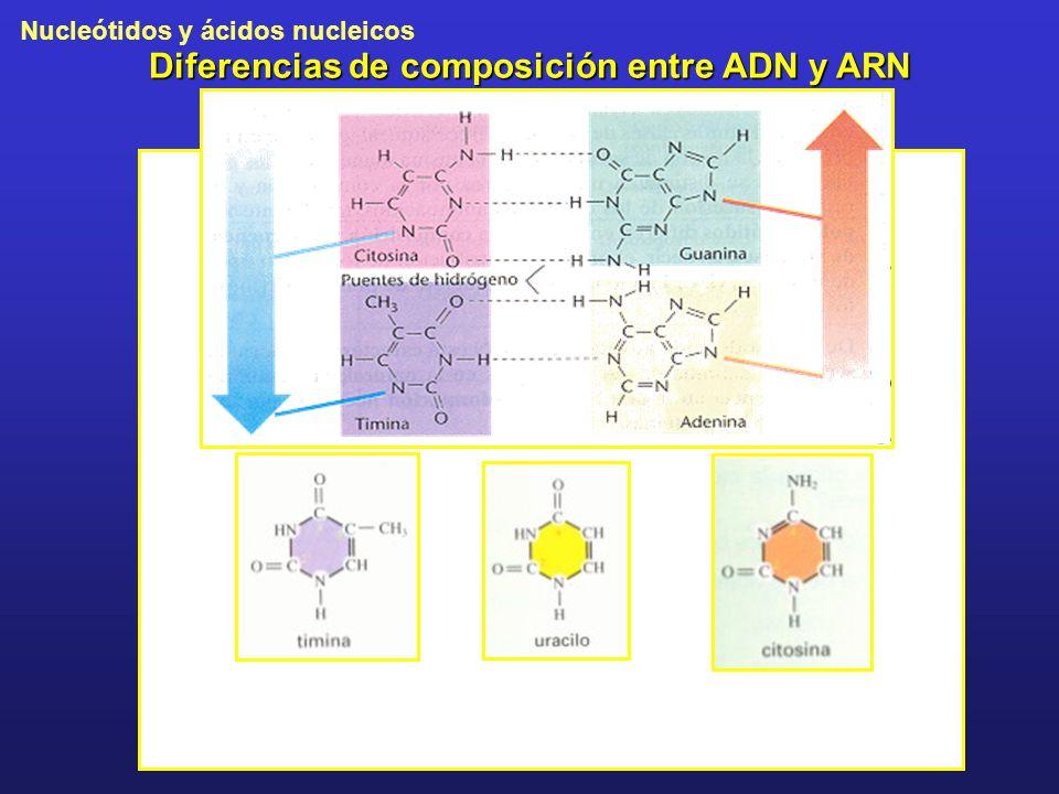 Nucleótidos y ácidos nucleicos Diferencias de composición entre ADN y ARN
