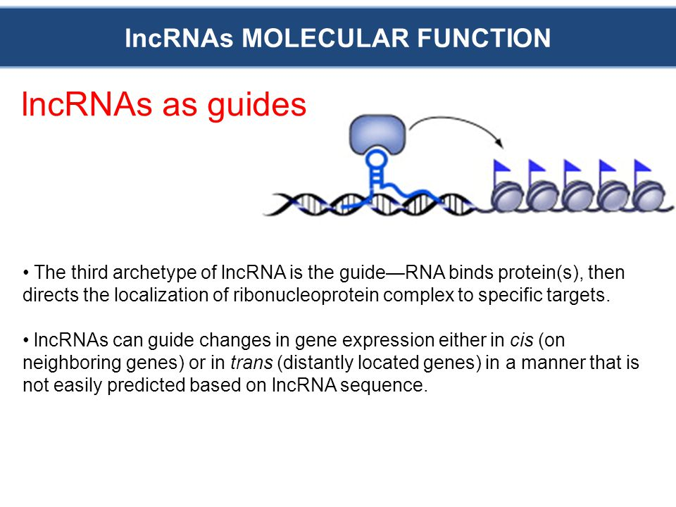 lncRNAs MOLECULAR FUNCTION lncRNAs as guides The third archetype of lncRNA is the guide—RNA binds protein(s), then directs the localization of ribonucleoprotein complex to specific targets.