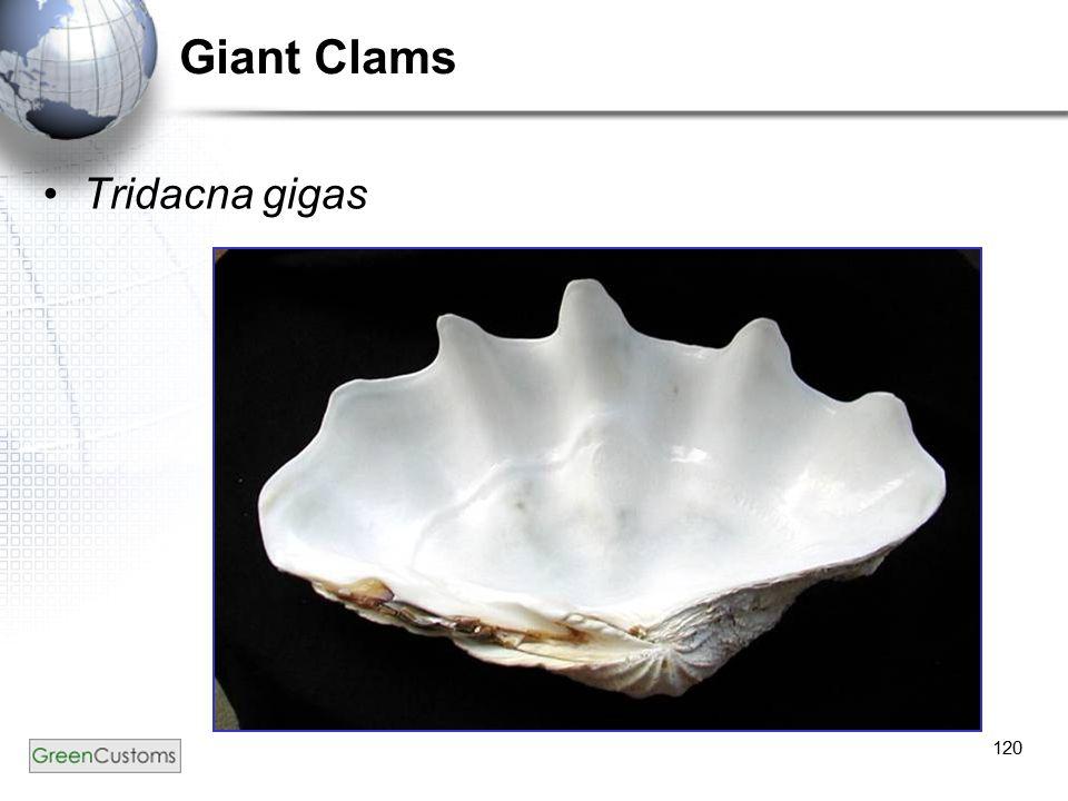 120 Giant Clams Tridacna gigas