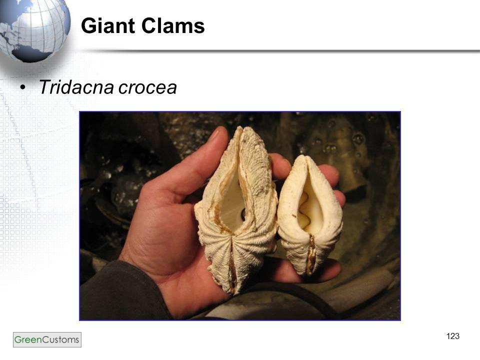 123 Giant Clams Tridacna crocea