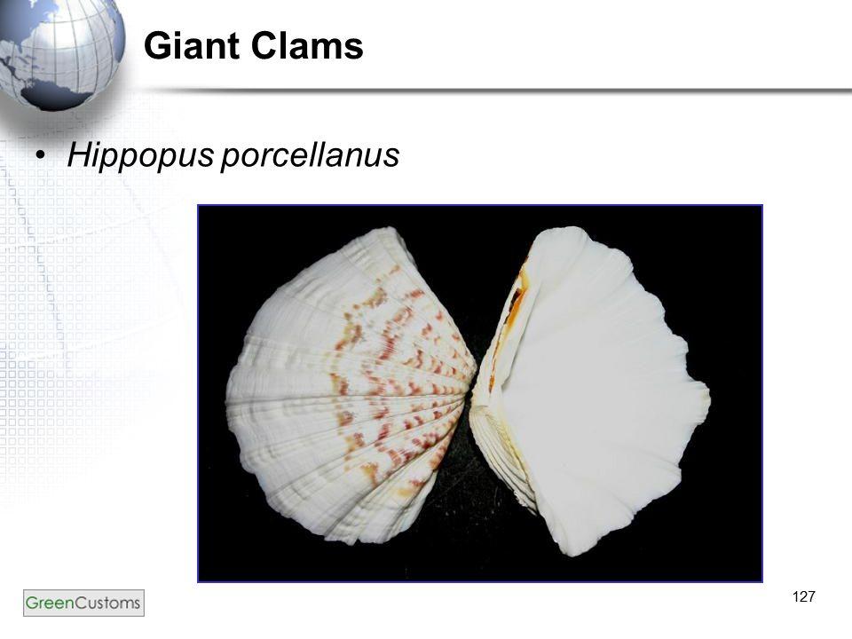 127 Giant Clams Hippopus porcellanus