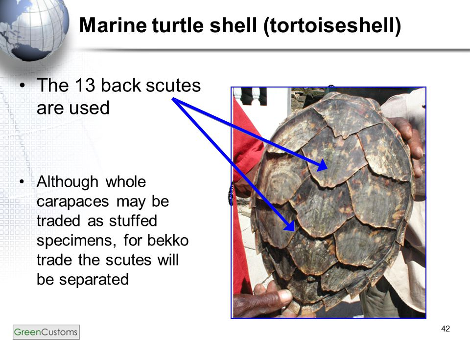 42 Marine turtle shell (tortoiseshell) The 13 back scutes are used Although whole carapaces may be traded as stuffed specimens, for bekko trade the sc