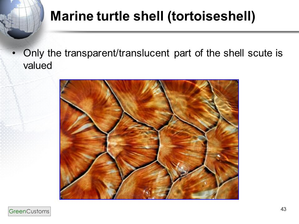 43 Marine turtle shell (tortoiseshell) Only the transparent/translucent part of the shell scute is valued