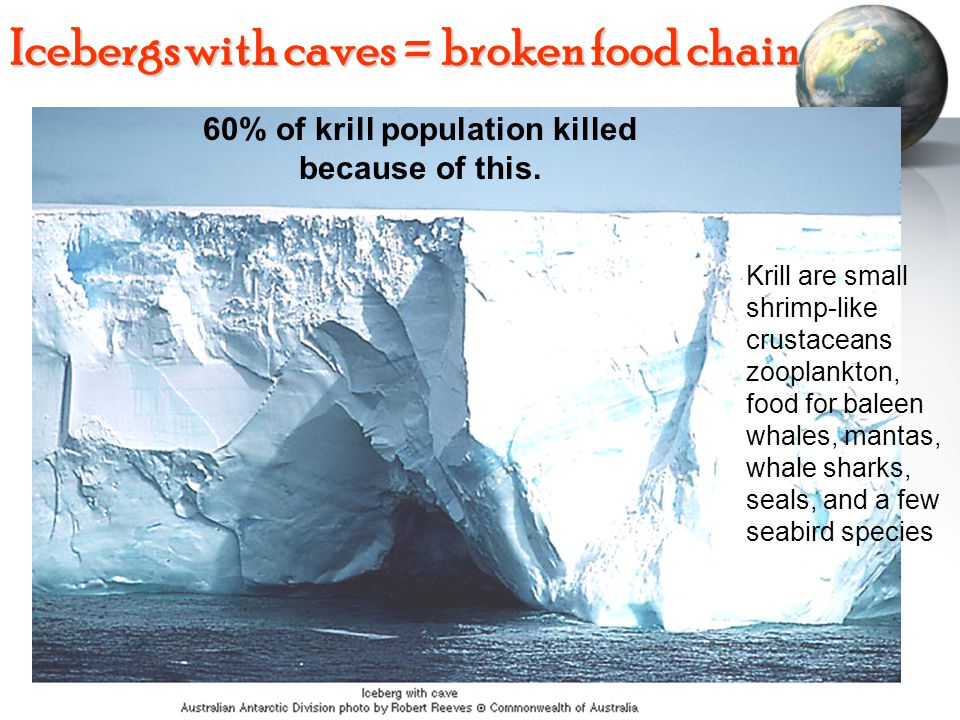 Icebergs with caves = broken food chain 60% of krill population killed because of this. Krill are small shrimp-like crustaceans zooplankton, food for