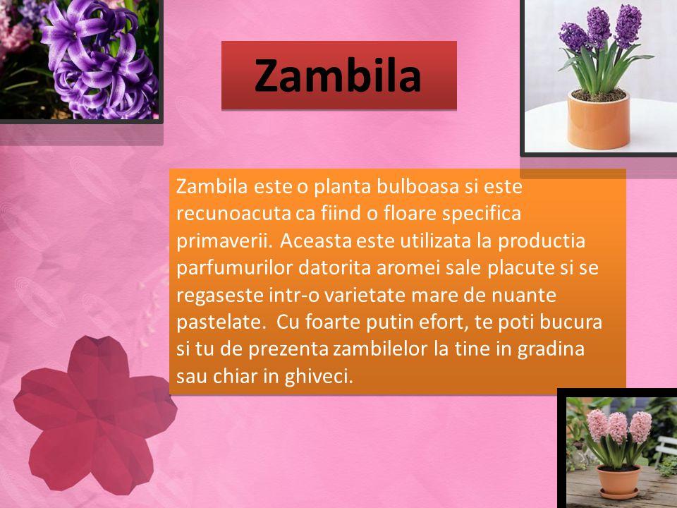 Zambila Zambila este o planta bulboasa si este recunoacuta ca fiind o floare specifica primaverii. Aceasta este utilizata la productia parfumurilor da