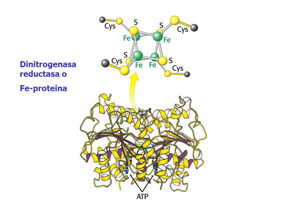 Dinitrogenasa reductasa o Fe-proteina