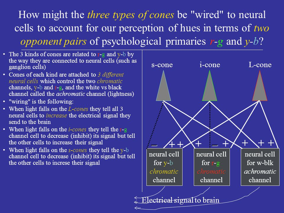 What is meant by the opponent nature of red vs green (r-g) perception and of yellow vs blue (y-b) perception.