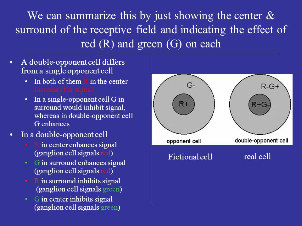Receptive field of a double-opponent cell of the r-g type 2 different ways to INCREASE the signal the ganglion cell sends to brain2 different ways to INCREASE the signal the ganglion cell sends to brain RedcenterRed light falling on cones in center of receptive field attached to ganglion cell GreensurroundGreen light on surround 2 different ways to the signal the ganglion cell sends to the brain2 different ways to decrease the signal the ganglion cell sends to the brain RedsurroundRed light on surround Green light on centerGreen light on center Electrical signal to brain from ganglion cell is at ambient level when no light is on center or surround redWhen signal to brain is INCREASEDwe interpret that as red greenWhen signal to brain is decreased we interpret that as green signal to brain