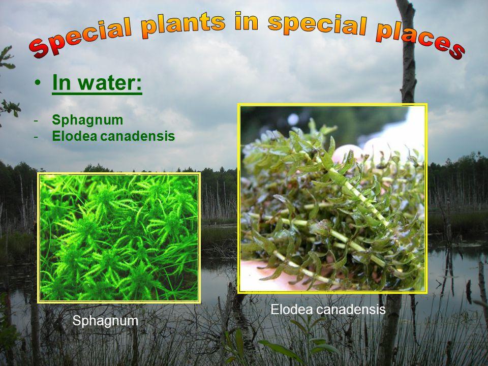 In water: -Sphagnum -Elodea canadensis Sphagnum Elodea canadensis