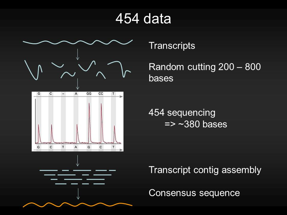 454 data Transcripts Random cutting 200 – 800 bases 454 sequencing => ~380 bases Transcript contig assembly Consensus sequence