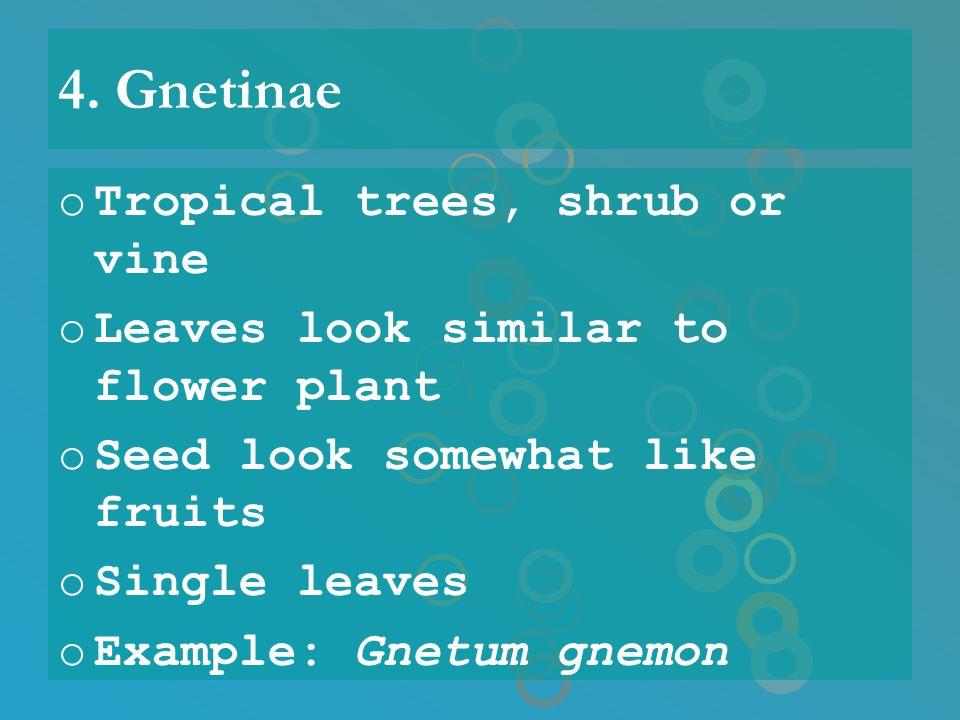 4. Gnetinae oTropical trees, shrub or vine oLeaves look similar to flower plant oSeed look somewhat like fruits oSingle leaves oExample: Gnetum gnemon