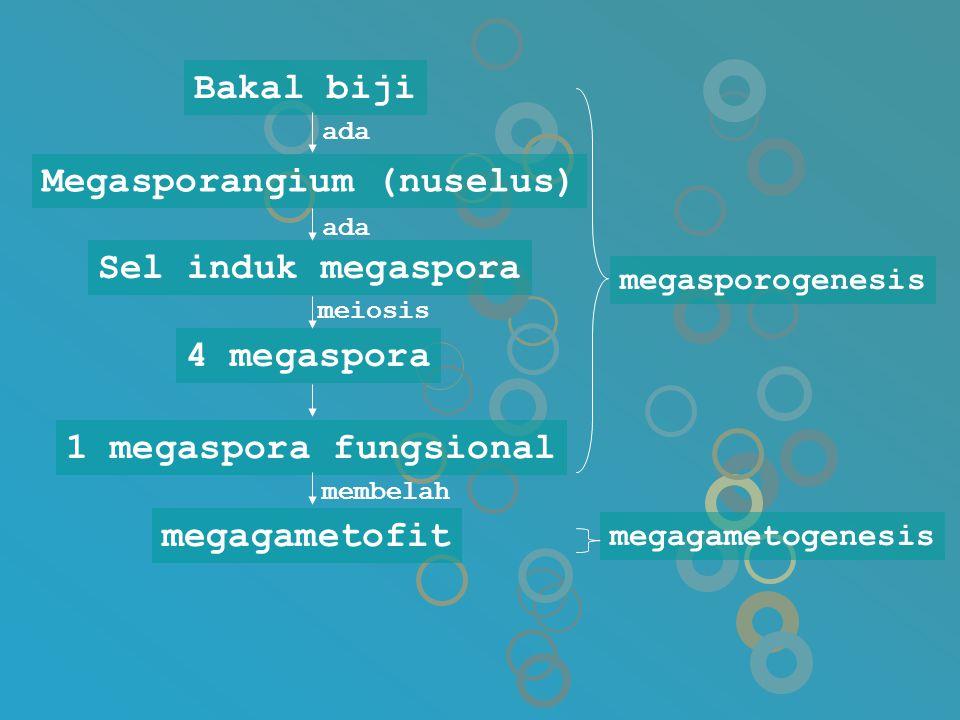 Bakal biji megagametofit megasporogenesis 1 megaspora fungsional 4 megaspora Sel induk megaspora Megasporangium (nuselus) ada meiosis membelah megagam