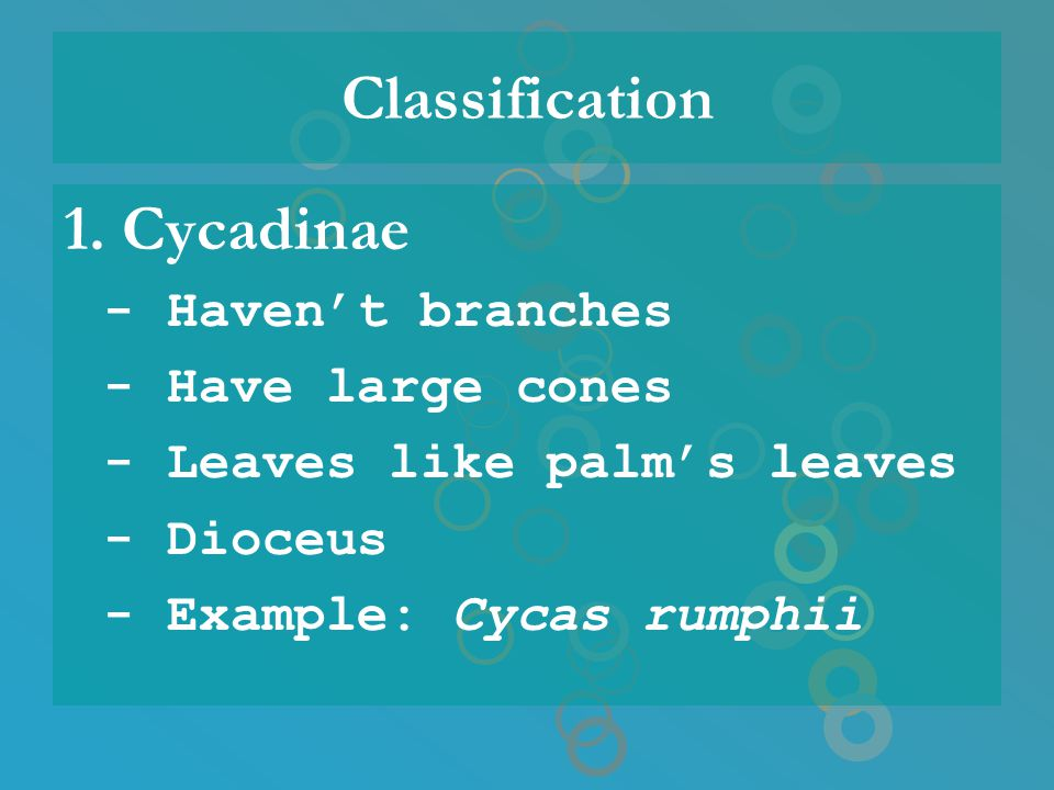 Classification 1. Cycadinae - Haven't branches - Have large cones - Leaves like palm's leaves - Dioceus - Example: Cycas rumphii