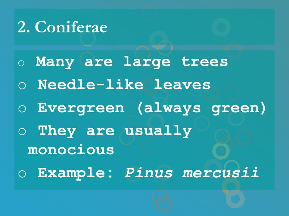 2. Coniferae o Many are large trees o Needle-like leaves o Evergreen (always green) o They are usually monocious o Example: Pinus mercusii